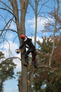 Photo of arborist in tree with chain saw