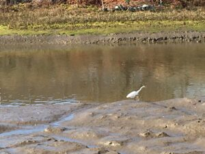 Photo of Great Egret in lower salt march at Rose Creek